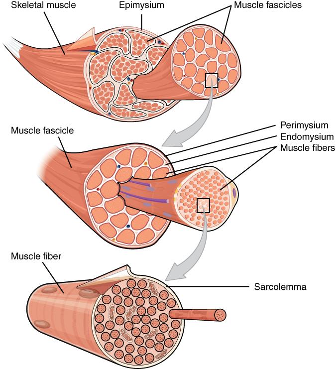 Ziemlich Drei Arten Von Muskelgewebe Ideen - Menschliche Anatomie ...