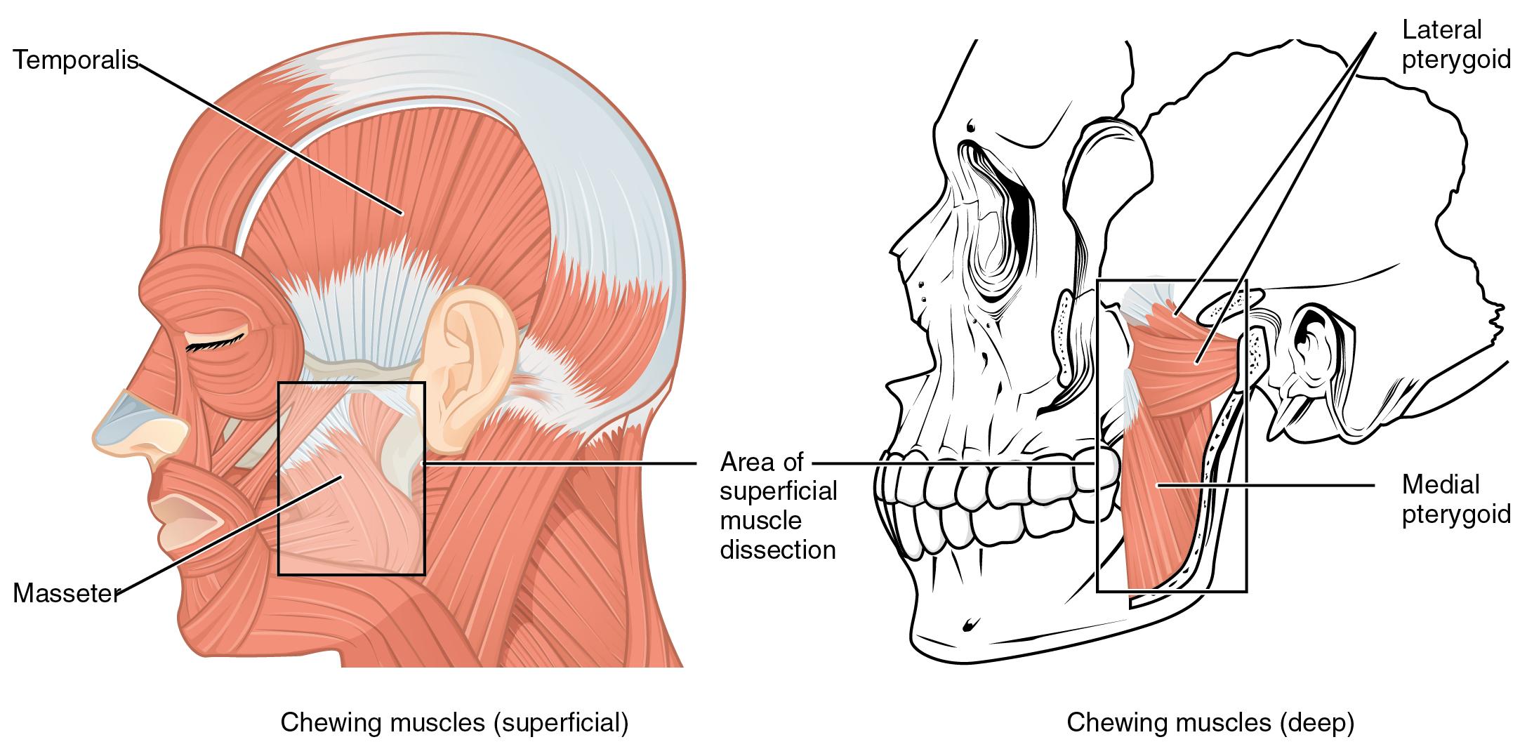 Abbildung der Muskel, die den unteren Kiefer bewegen