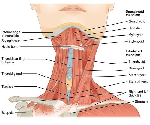 Vorderansicht der Muskeln des Halses