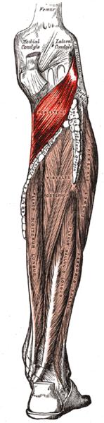 Musculus popliteus