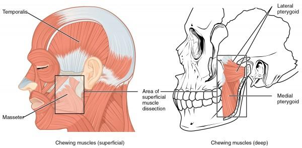 Muskeln die den Unterkiefer bewegen
