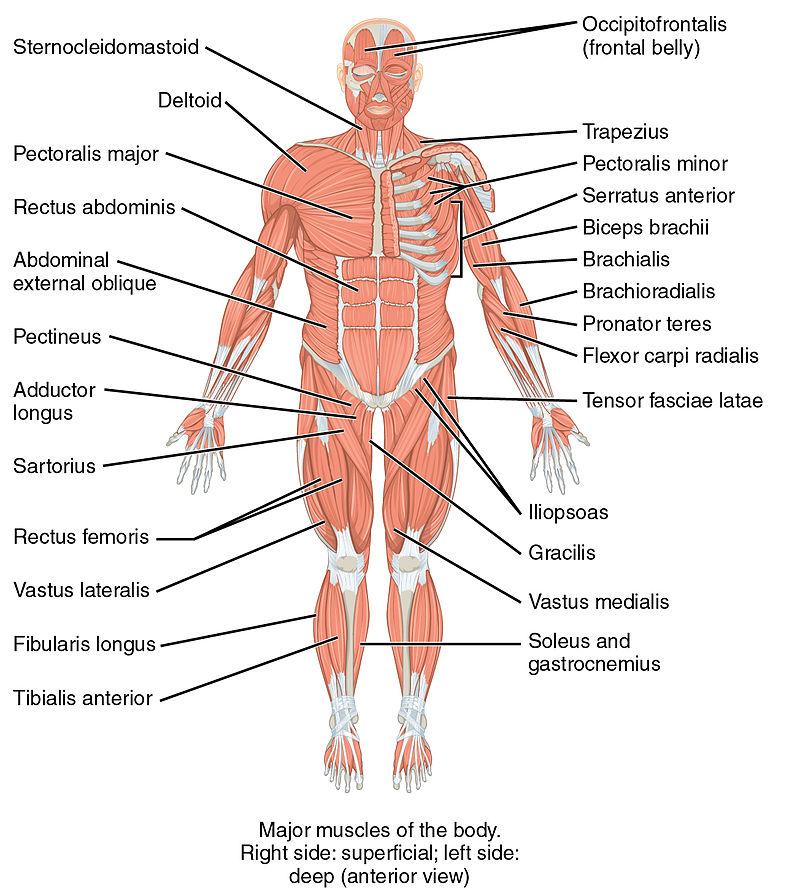 10 wichtige Muskeln des menschlichen Bewegungsapparats
