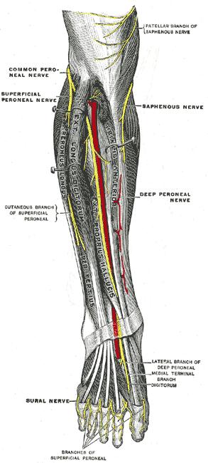 beschriftete Zeichnung der Nerven des Vorderbeins