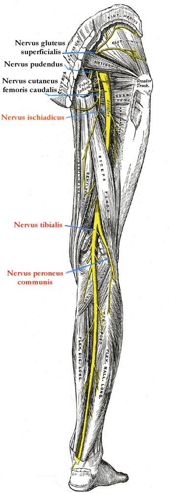 beschriftete Zeichnung des Nervus ischiadicus