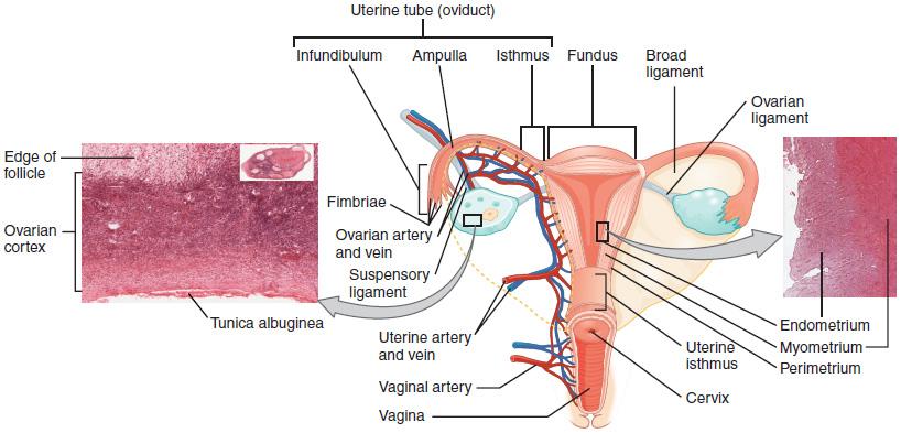 Ovar und Uterus mikroskopisch