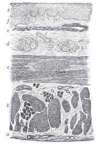 Querschnitt durch die Schleimhaut der Speiseröhre