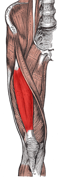Rectus femoris