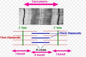 Das Sarkomer ist die kelinste funktionelle Einheit der Muskulatur.