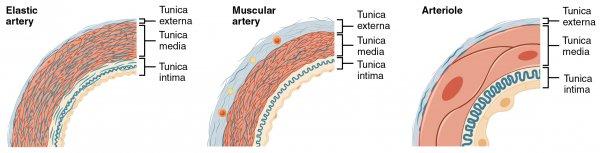 Schematische Darstellung der Arterien und Arteriolen