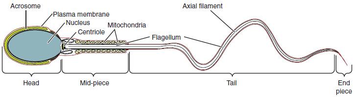 Spermienstruktur