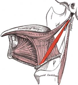 Der M. stylohyoideus folgt parallel dem Venter posterior vom Griffelfortsatz (lat. Processus styloideus) der Schädelbasis bis zum Os hyoideum