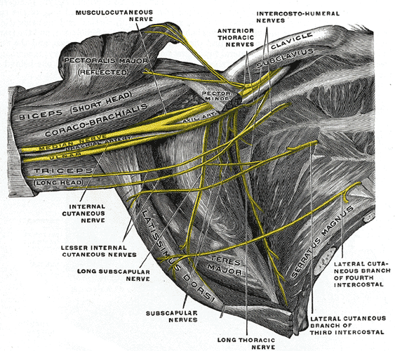 The right brachial plexus in the axillary fossa