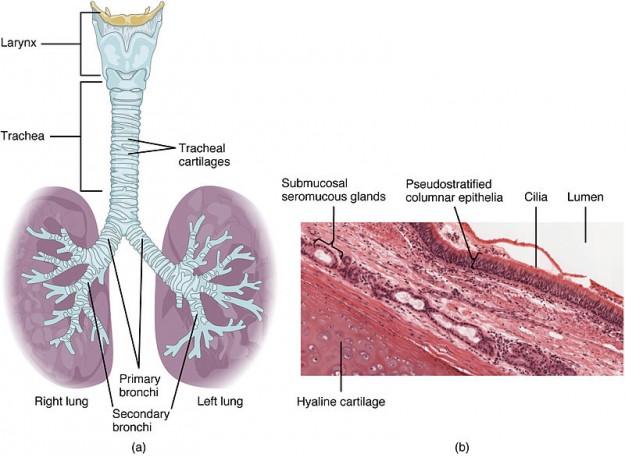 Histologie von Trachrea und Bronchien