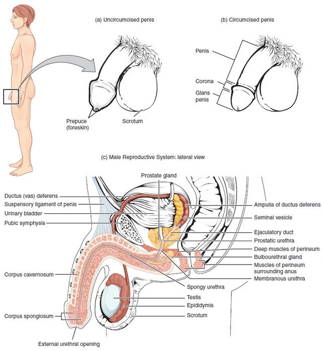 das ist der aufbau der maennlichen geschlechtsorgane