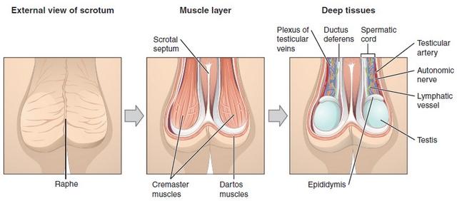 bau und funktion der männlichen geschlechtsorgane