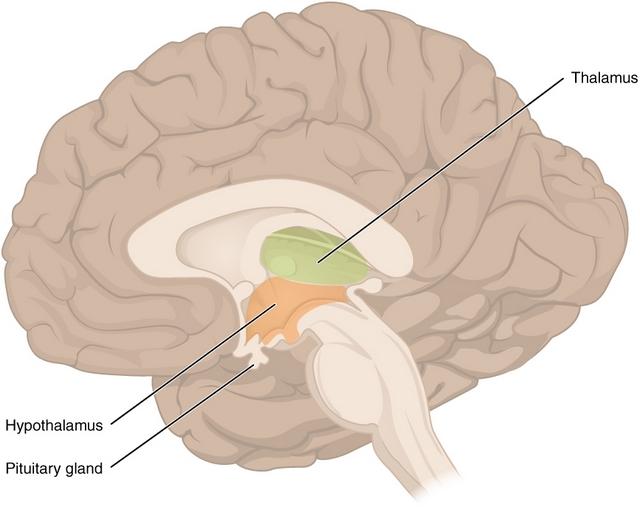 das ist eine abbildung des diencephalons