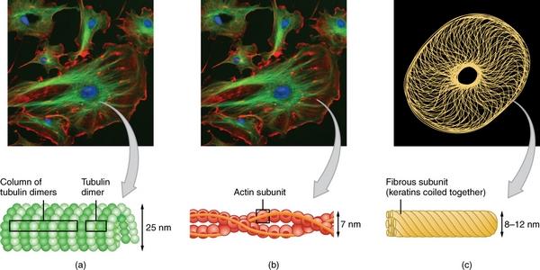 Die 3 Bestandteile des Zytoskeletts