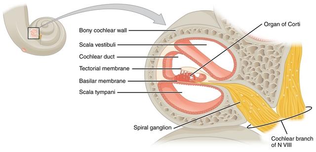 die abbildung zeigt den aufbau der cochlea