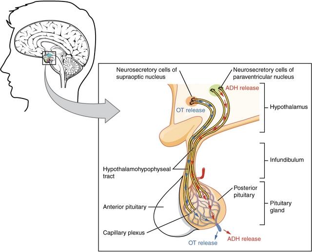 diese abbildung zeigt den hypophysenhinterlappen