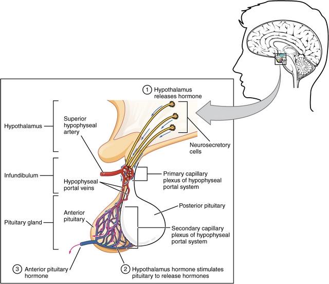 diese abbildung zeigt den hypophysenvorderlappen