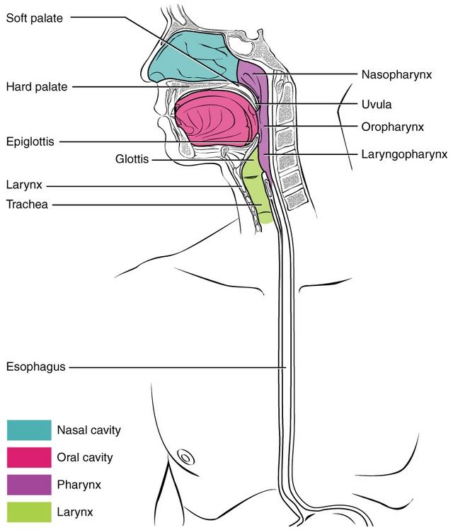 Mund Anatomie, Aufbau, Funktion, Krankheiten