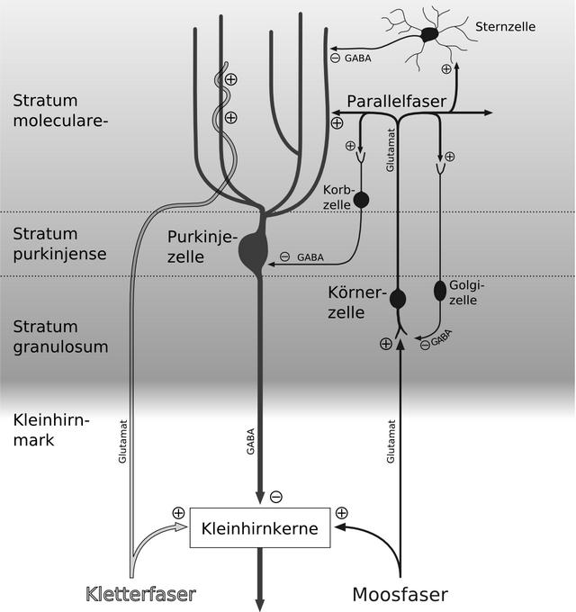 diese abbildung zeigt die drei schichten der kleinhirnrinde