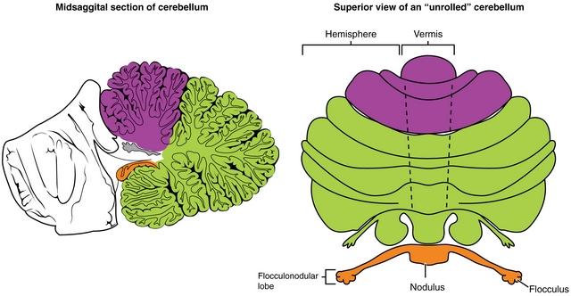 diese abbildung zeigt die hauptregionen des cerebellums