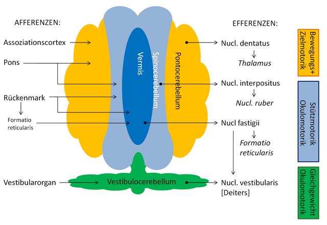 diese schematische abbildung zeigt die wichtigsten afferenzen und efferenzen im kleinhirn