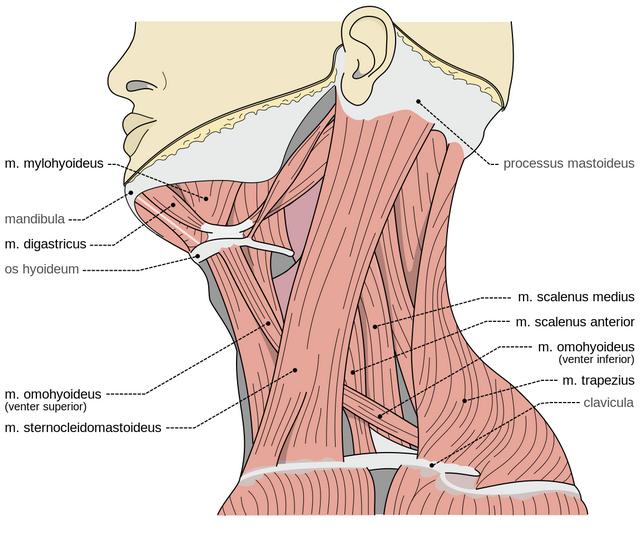 dieses bild zeigt die scalenusmuskeln