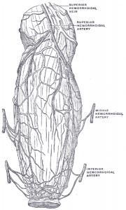 Die Blutgefäße des Mastdarms und des Anus , die die Verteilung und Anastomose in der Nähe des Darmendes zeigen.