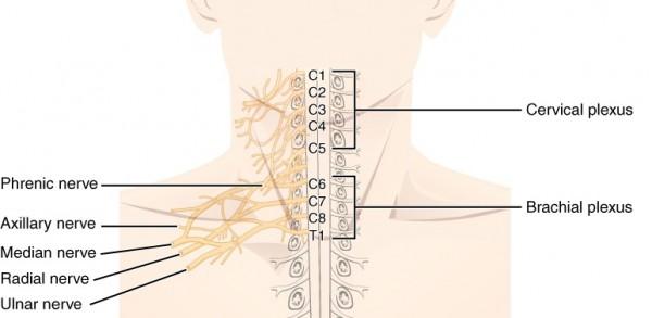 Skizze der Spinalnerven