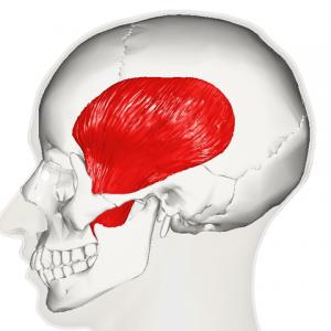 Abbildung des musculus temporalis