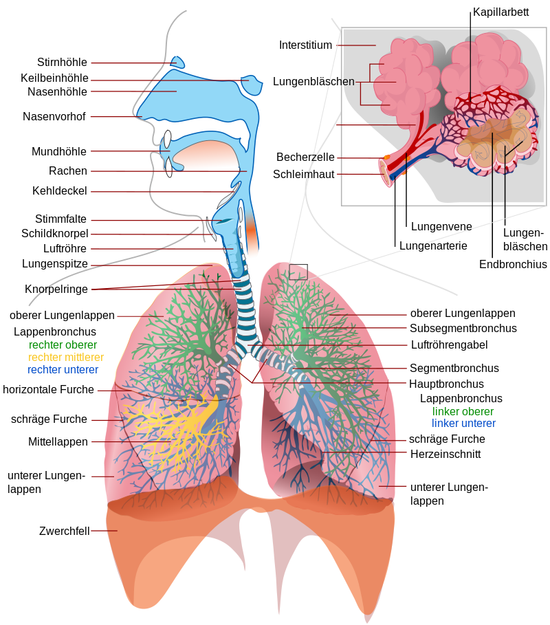 Gemütlich Lunge Anatomie Und Physiologie Zeitgenössisch ...