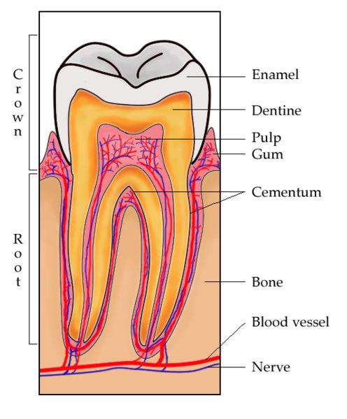 Aufbau Zahn