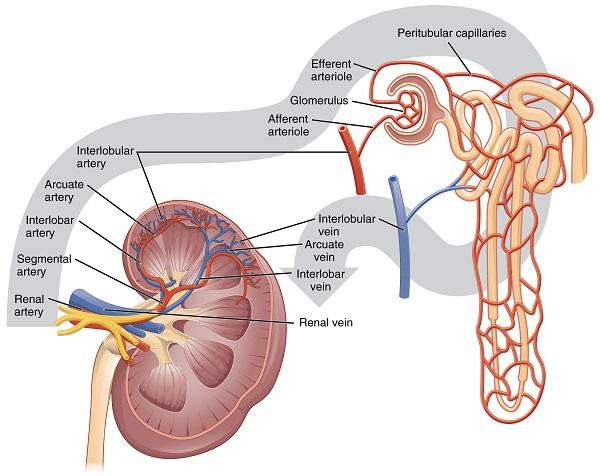 Blutfluss in der Niere