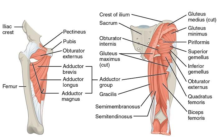 Flexoren der Hüfte 1