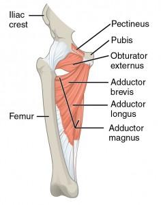 """Bild: """"Gluteal Muscles that Move the Femur"""" von Phil Schatz. Lizenz: CC BY 4.0"""