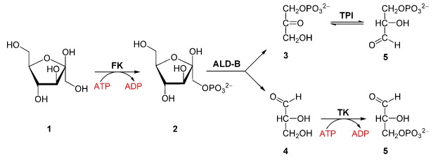 Fructose in Glycolyse