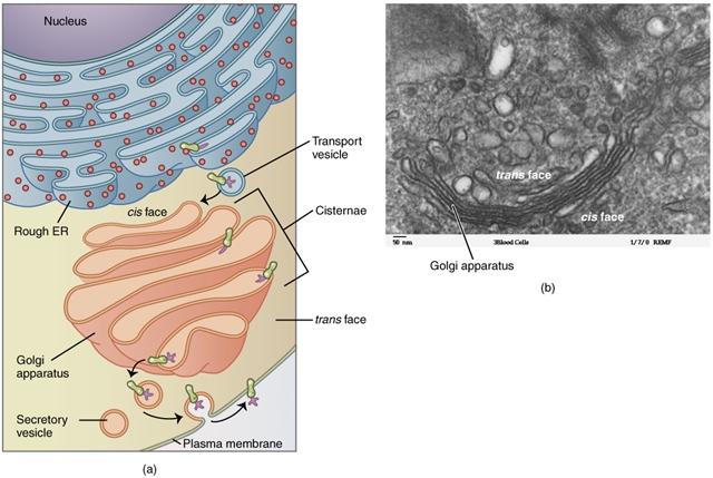 Golgi Apparat