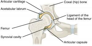 Labrum acetabulare