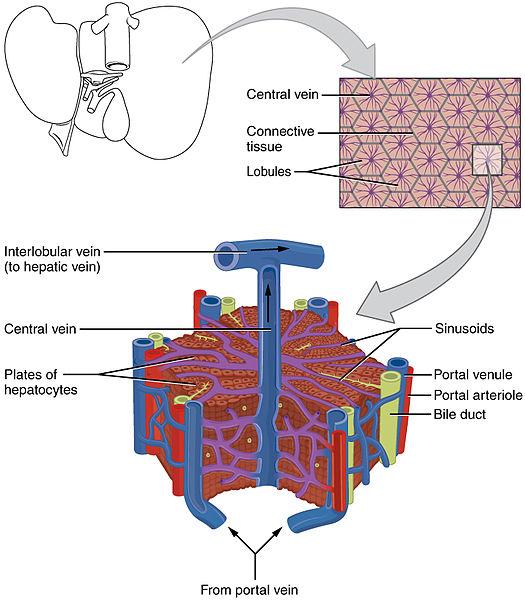 Leber mikroskopisch
