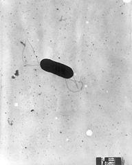 Mikroskopisches Bild von Listerien
