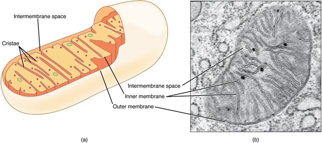schematischer Aufbau Mitochondrium