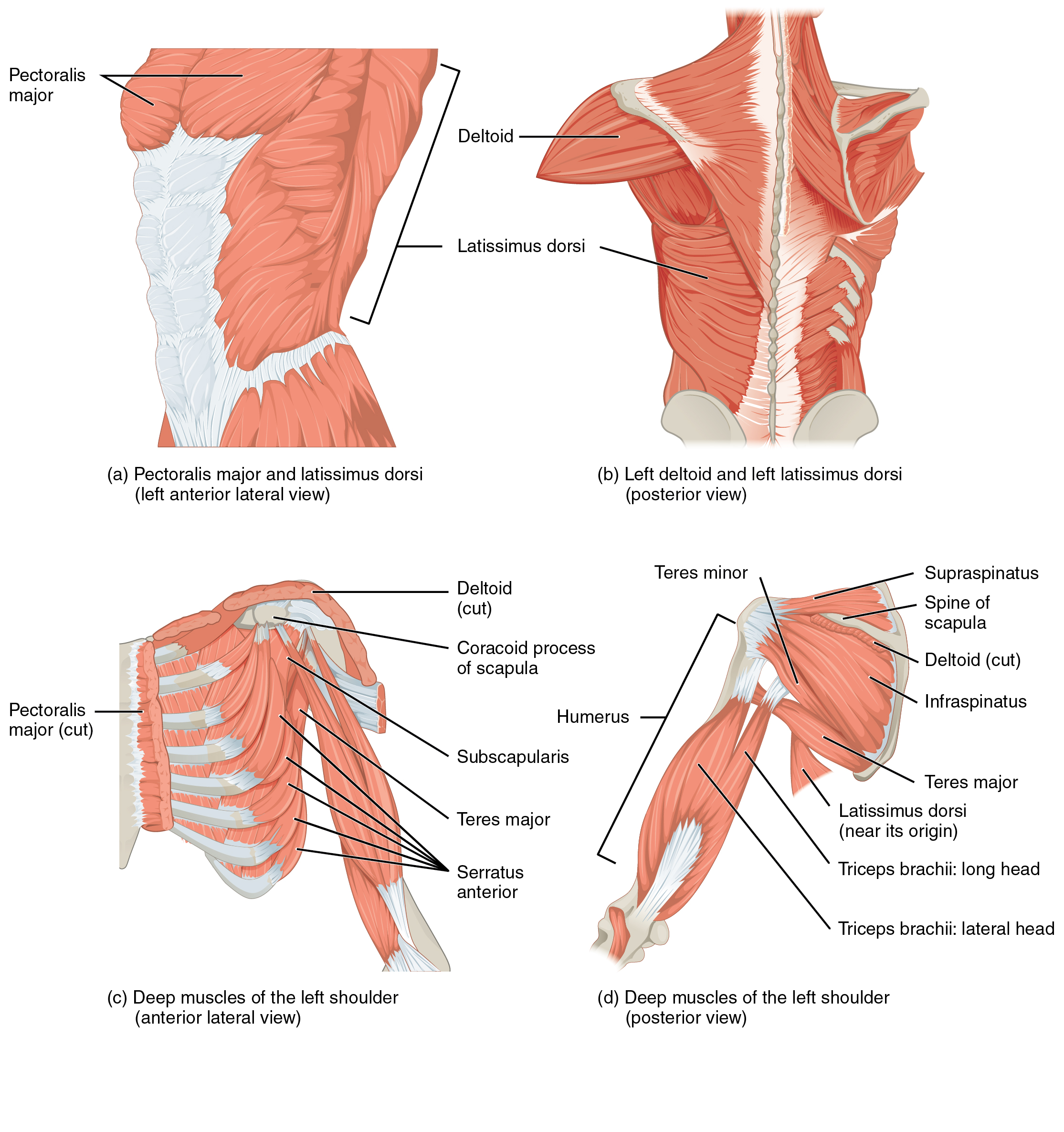 "Bild: ""Muscles That Move the Humerus"" von Phil Schatz. Lizenz: CC BY 4.0"
