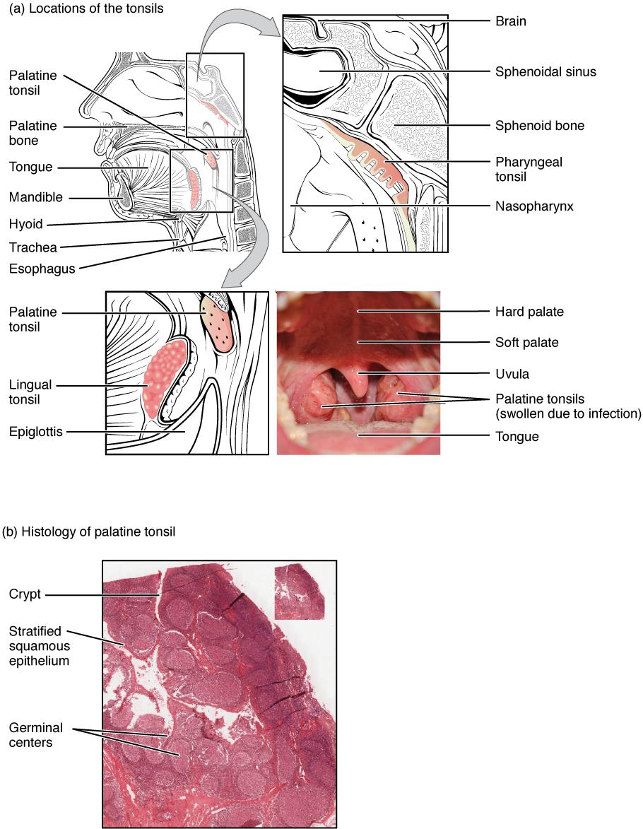 Ort und Histologie Tonsilla