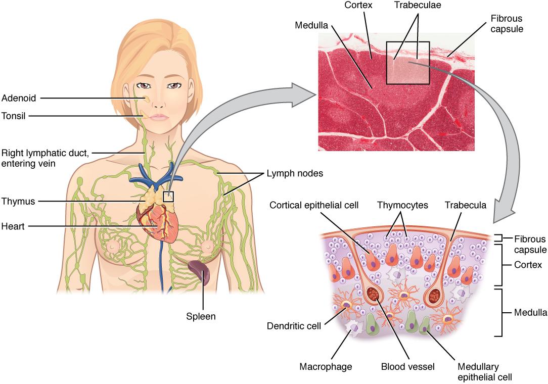 Ort und Struktur des Thymus