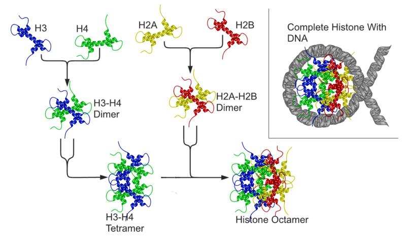 Schematische Darstellung der Nukleosombildung aus den Histonproteinen