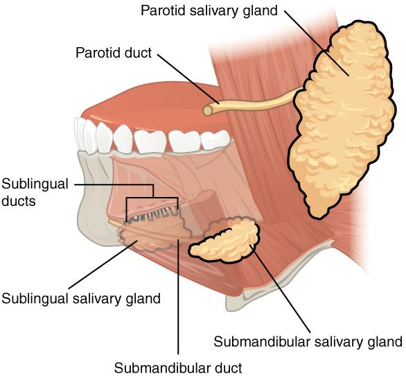 Speicheldrüsen