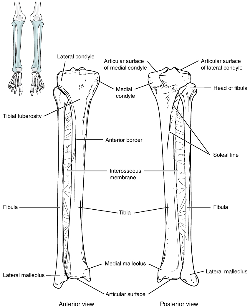 Disorders of the Ankle and Foot: Posterior