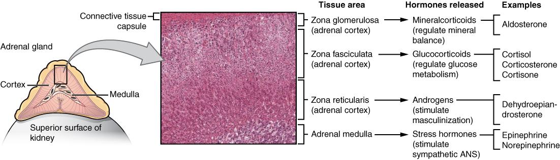 die Nebenniere mit mikroskopischer Darstellung